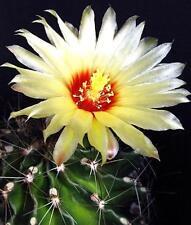 Hamatocactus Setispinus, exotic flowering barrel cacti rare cactus seed 25 Seeds