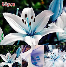 50 Seeds Bulk Garden Decoration Floral Plants Blue Lily Bulbs Planting Flower