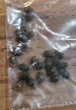 25 Indica seeds . 9 Pound Hammer. Rare