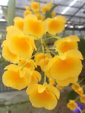 Dendrobium lindleyi Orchid NATURF=STARKE PFLANZE + ABSOLUT BLÜHFÄHIG= ein SCHATZ
