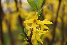 1 Plant Forsythia viridissima Yellow Flower forsizia rare plant no magnolia