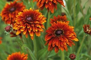 20 RUDBECKIA CHEROKEE SUNSET Seeds Flower For Borders or Bedding Fast Depatch