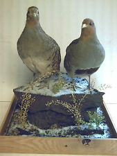 Grey Partridges, male and female, excellent mount in a winter setting glass case