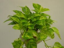 POTHOS - GOLDEN - 2 live PLANTS - House Houseplant/ Office - GroCo Plant USA