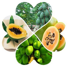 8pcs Unique Papaya Heirloom Seeds Bright Flesh Delicious Tropical Fruit Seeds a1