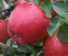 Apfel,Alte Apfelsorte, Sommerapfel KATJA, Apfelbaum,ЯБЛОНЯ КАТЯ