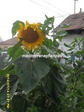Ungarische Riesen Sonnenblume, kurze Wachstumszeit, bis 4 Meter, grosse Köpfe !!