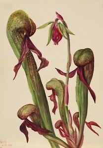 "Mary Vaux Walcott : ""California Pitcher Plant"" (1924) — Giclee Fine Art Print"