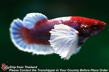 Live Betta Fish Lavender Dumbo Ear Female Hmpk #C275