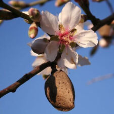 5-FRESH-Bitter-Almond-Prunus-Dulcis-Seeds-Organic-Ideal-rootstock-for-grafting