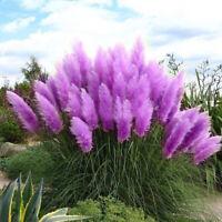 500 pcs rare purple pampas grass seeds ornamental plant flowers grass seeds AR