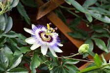 Zimmerpflanze Passionsblume die schönsten Blüten überhaupt auf dem Pflanzenmarkt
