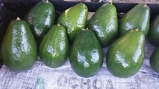Semil 34, variety grafted avocado tree from Puerto Rico
