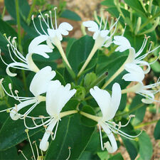 50pcs Honeysuckle Vine Seeds Lonicera Japonica Fragrant Home&Garden Decor Plant
