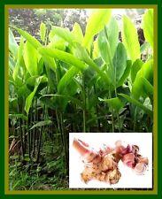 *UNCLE CHAN* A RHIZOME GALANGAL FRESH ALPINIA GALANGA THAI HERB HEIRLOOM PLANT