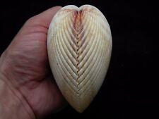 Sea Shells Trachycardium elongatum (Vasticardium) 103mm ID#3524C