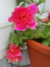 "Magenta Color Blast Purslane Portulaca Fairy Tale Double Flowers - 2"" Pot"