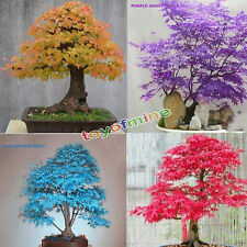 20pcs Japanese Maple Tree Bonsai Seeds Acer Palmatum Atropurpureum Plant