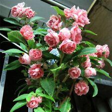 Double Camellia Impatiens Balsamina Flower Mix Color 30 Seeds