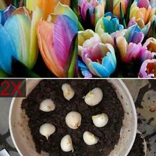 2Pcs world rare rainbow tulip bulbs seeds most beautiful flower plant seeds TS