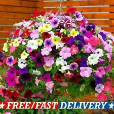 Trailing Petunia Mix Balcony 800 Seeds Petunia Hybrida Flower Pendula UK