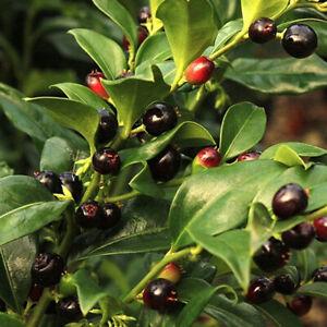 1 X SARCOCOCCA CONFUSA CHRISTMAS BOX EVERGREEN SHRUB HARDY GARDEN PLANT IN POT