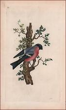 BULLFINCH BIRD, engraving, water color, antique ORIGINAL 1799