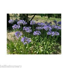 3 Agapanthus c. subsp. angustifolius dark violet-blue flowers, garden plant