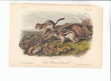 8vo Audubon Quadrupeds Of America Print 1851: Say'S Marmot Squirrel. 114