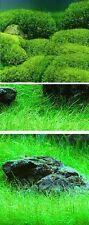 Jetzt pflanzen ! Wassergras Wasserrasen Gras für den Teich grüne Teichpflanzen