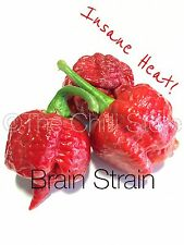 Brain Strain Chilli Seeds x 10 - Extremely Hot