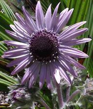 BERKHEYA PURPUREA HARDY PERENNIAL PLANTS 10 SEEDS PER PACK