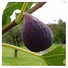 Ficus carica 'Brown Turkey' - blauer Frucht Feigenbaum  -18°C -Pflanze 60-80cm