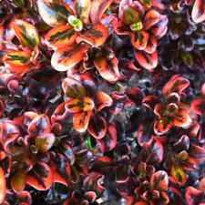 More details for coprosma 'tequila sunrise' evergreen colourful garden shrub | 9cm pot