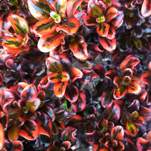 Coprosma 'Tequila Sunrise' Evergreen Colourful Garden Shrub   9cm Pot