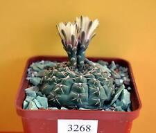 Gymnocalycium stellatum Sto 88-117 /3268/ D62mm. own roots