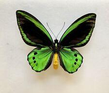 Ornithoptera Priamus Ssp Admiralitatis, Manus Isl PNG