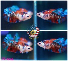 New listing [Ti-2545] Live Betta Fish High Quality Hmpk Female Red Blue Galaxy Koi