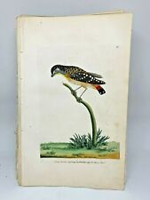 Speckled Manakin - 1783 RARE SHAW & NODDER Hand Colored Copper Engraving