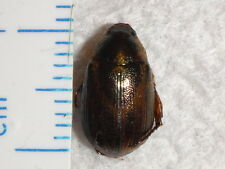 Coleoptera Rutelinae Scarab Beetle Species Malaysia #2934-6 Insect Bug