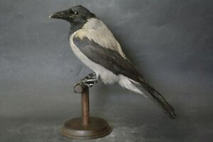 Taxidermy-hunting-chasse-präparat- Hooded Crow with permit