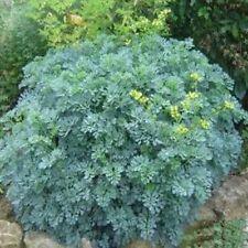 Rue- (Ruta Graveolens)- 25 Seeds