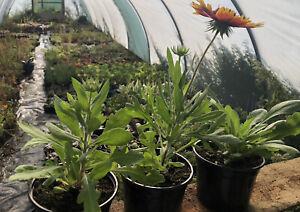 Rudbeckia Rustic Dwarf Mixed X3 Plants In 11cm Pots