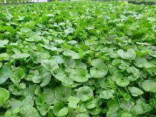Dichondra repens - Kidney Mat 15 seeds