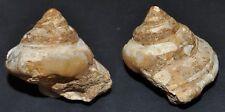 3666 Bathrotomaria (Pleurotomaria) annejoffeae FOSSIL - 47,2mm - Kreide