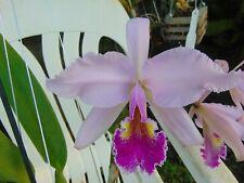 """C. warscewiczii X C. mossiae Flowers 6"""" pot Primary Hybrid 4/12/21"""
