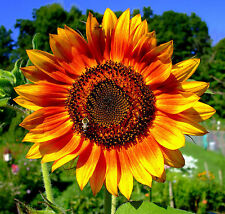 SUNFLOWER - RING OF FIRE - 25 seeds - Helianthus annuus yellow with red ring