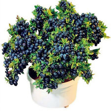 100x Rare BLUEBERRY SEEDS Vaccinium Perennial Low Bush Plant Fruit Indoor Bonsai