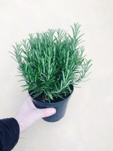 Large Rosemary herb Plant in a 14cm Pot, Upright Evergreen Plant