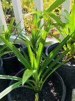 2 X PANDAN LEAF PLANTS ( 2 Cây Lá Dứa)